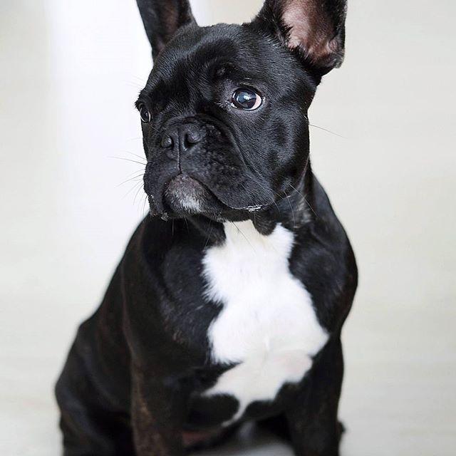 #emmathefrenchie #frenchbulldog