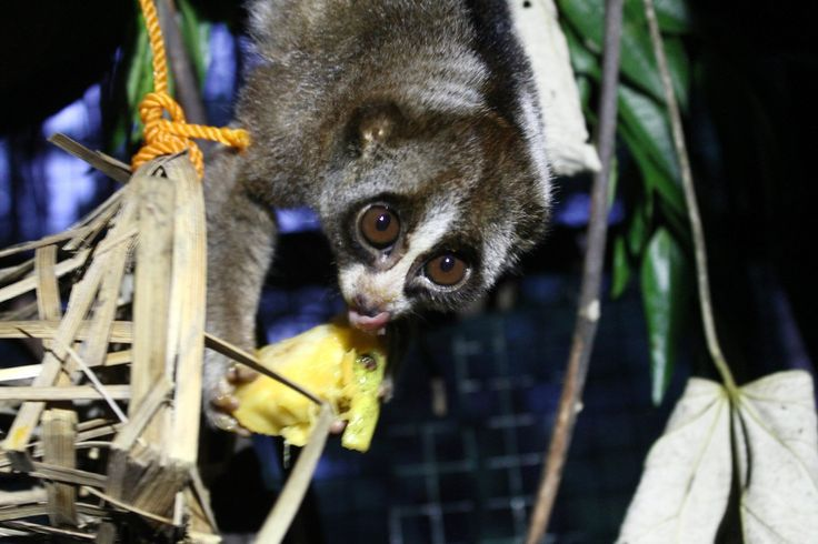 A Sumatran slow loris (Nycticebus coucang) at the Bandar Baru Rehabilitation Centre, in north Sumatra, Indonesia. The Sumatran slow loris has become one of the 25 most endangered primates in the world due to hunting and loss of forests in Indonesia. The one here was kept as a pet and was seized from its owners.