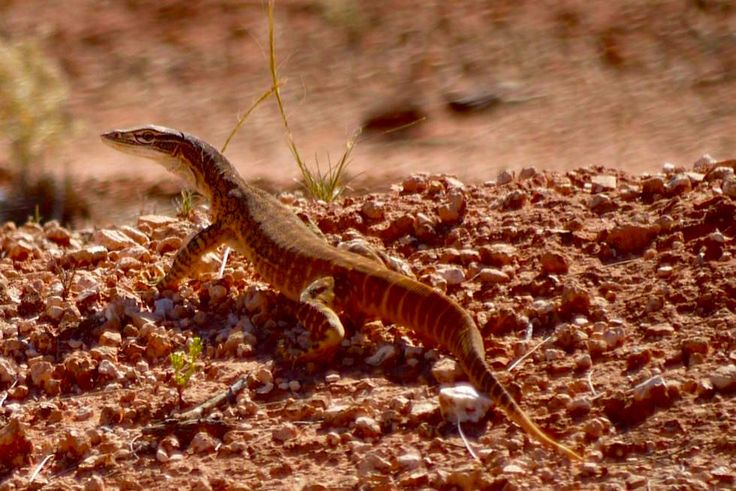 Waran - Goana Lizard - Lake Gairdner - South Australia