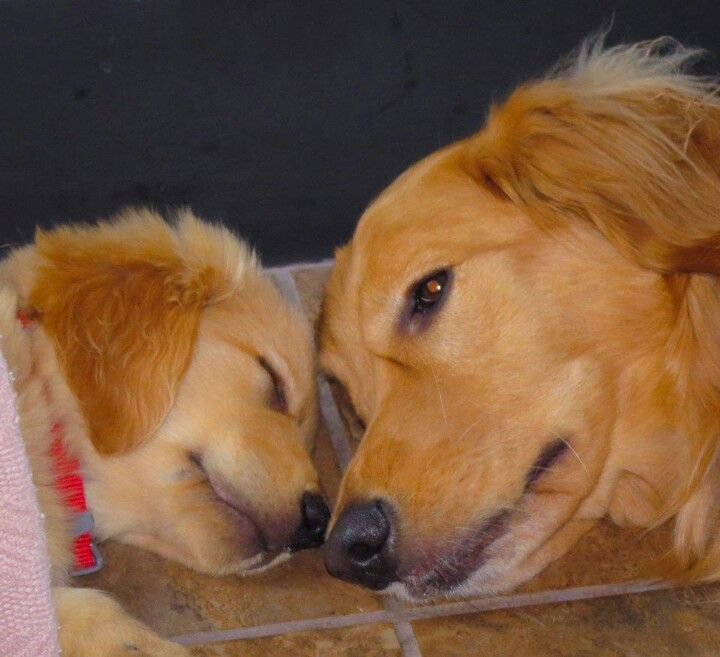 cute golden retrievers