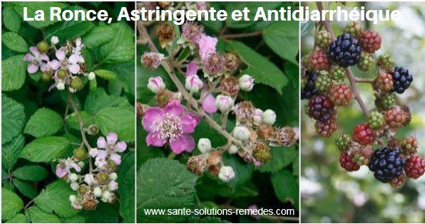 Ronce, Plante Astringente et Antidiarrhéique