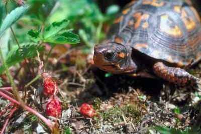 Plants That Are Poisonous to Box Turtles thumbnail