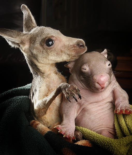 Orphan Kangaroo and Wombat Are Best Friends