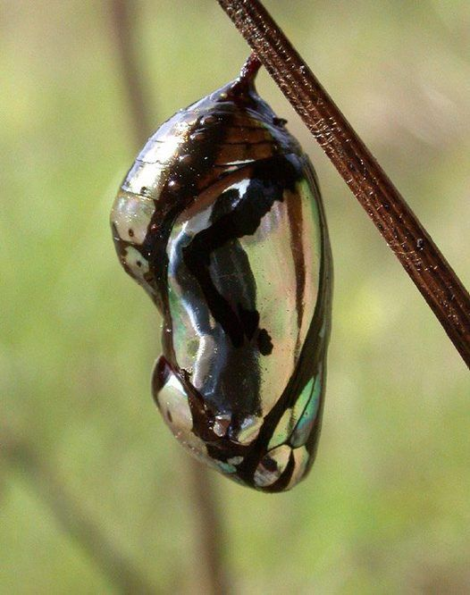 Common crow butterfly pupa