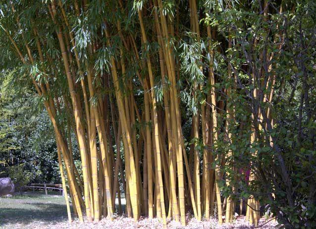 """Гигантский яркий бамбук Phyllostachys vivax 'Aureocaulis' """"Золотой Vivax"""""""