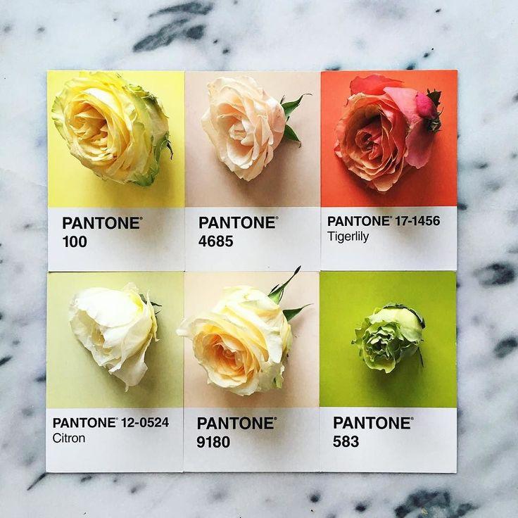 Rainbow Roses #pantoneposts by lucialitman