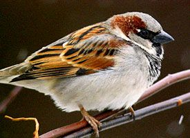 House Sparrow - lots and lots of these little fellows! Image courtesy of www.allaboutbirds.org!