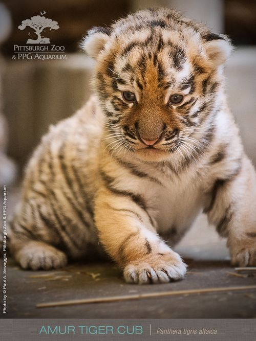 Pittsburgh Zoo's Amur Tiger cub