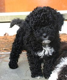 Portuguese Water Dog- our 2nd pup I want badly!!!! Just gotta talk Kev into it ;)
