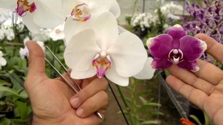 Como fazer mudas de orquídea - parte 01 - fecundação