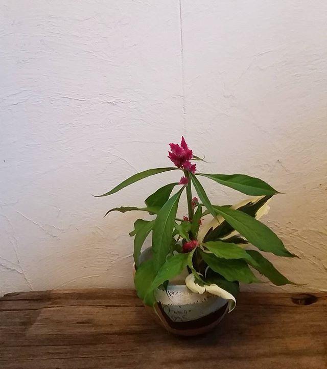 Instagram media by namiko.koba - #ヤリゲイトウ  #cockscomb  #ギボウシ 葉  #plantainlily  鮮やかな色の槍を空に向けている槍鶏頭。 1 August,  2016  花入れ: 陶器のボウル #東恩納美架  #花のある暮らし #garden #flowerstagram