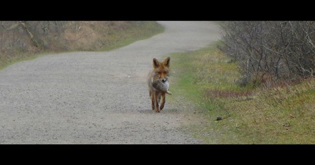 #traveltuesday throwback to that time in Holland when a fox casually passed us by with its prey giving zero F's about us  . . #zuidkennemerland #nationalpark #dutchnature #bestofnetherlands #igerscz #hikingadventures #hikingtrails #hikingculture #hikinglife #hikingtrip #naturelovers #nature_photo #nature_shots #nationalparks #outdoorlife #animalplanet #wildlifephoto #wildlifeplanet #wildfox #foxes #wanderlusters #travellove #travelholic #gaytravel #gaylife #adventurelife #discoverholland…