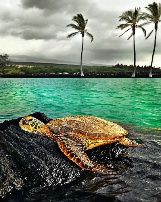 Green sea turtle. Overwhelming obsession with these guys