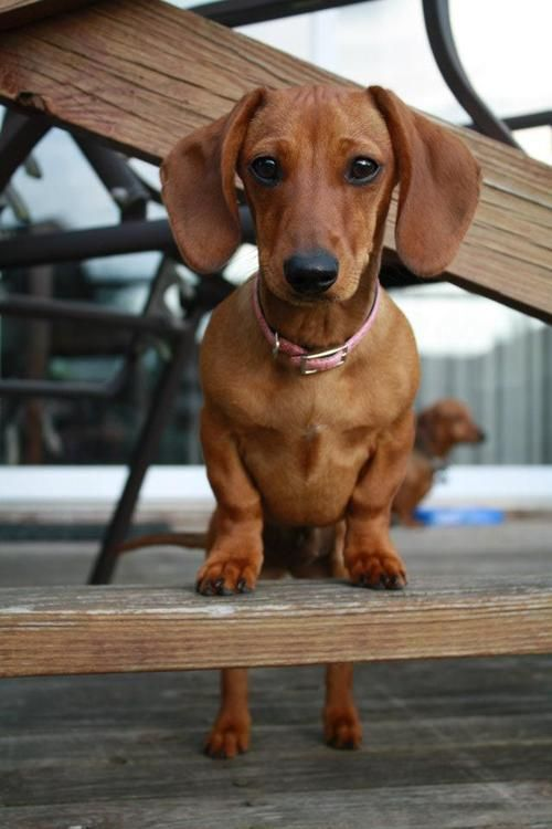 Weiner without the bun.......awww what a little sweetie pie. I love her. Doxies are just the cutes little pets.
