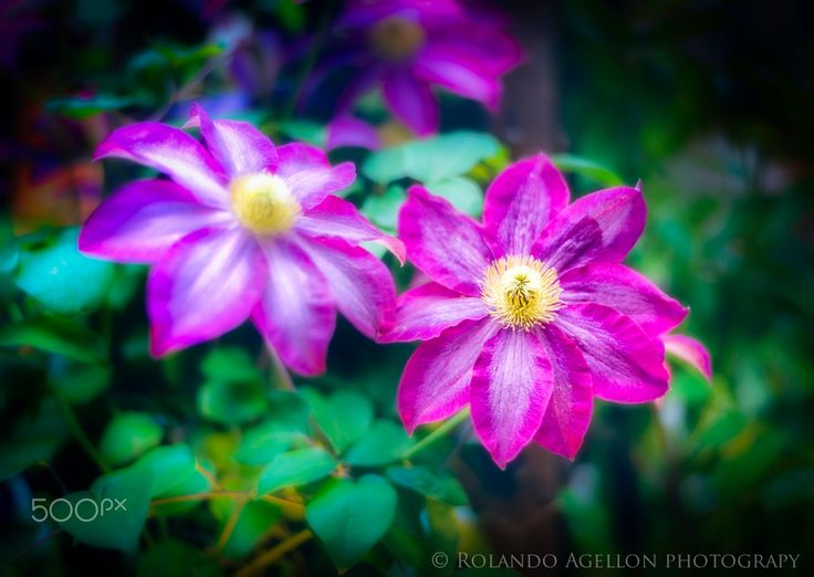 Clematis flowers - Clematis flowers at Rockefeller centre NYC