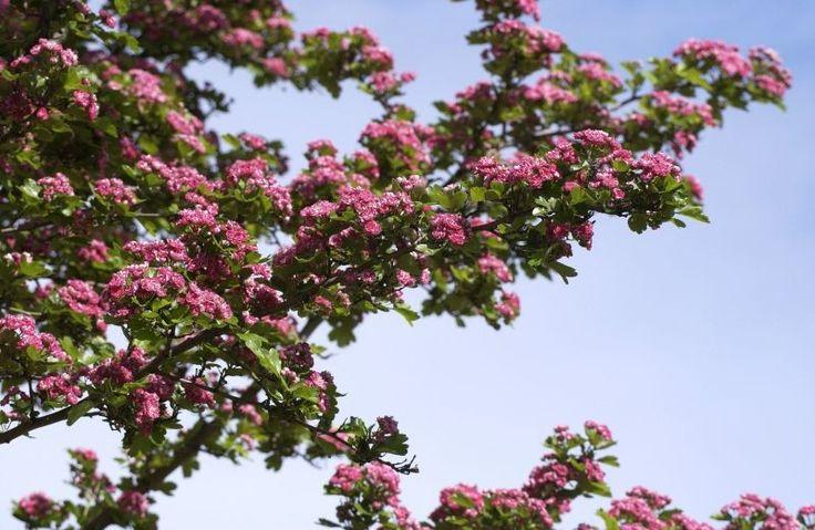 Echter Rotdorn Baum/Hausbaum-1