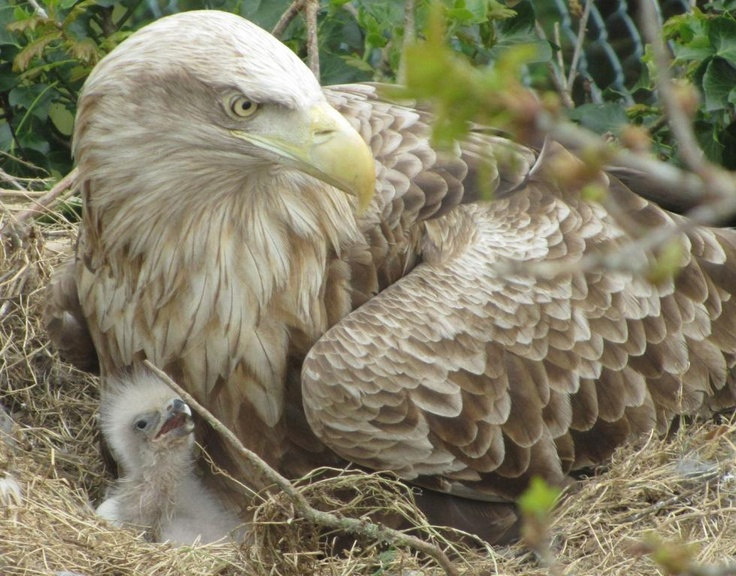A White-tailed Sea Eagle and her chick at Fota Wildlife Park