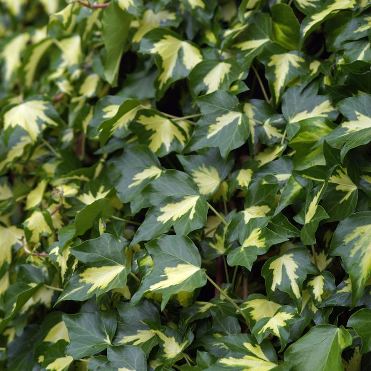 Hedera helix 'Goldheart' (Large Plant) - Climbing Seeds & Plants - Thompson & Morgan