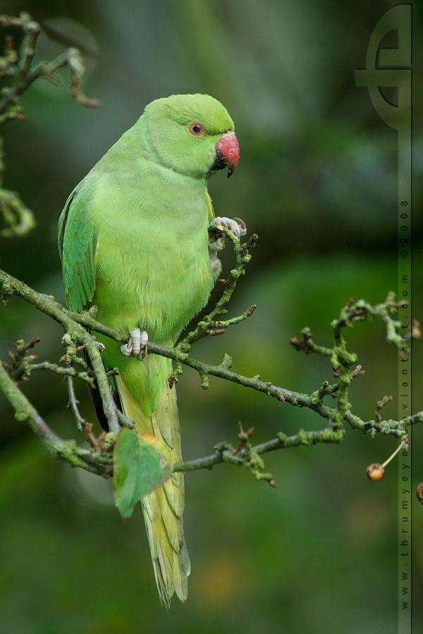 Rose-ringed Parakeet (Psittacula krameri).