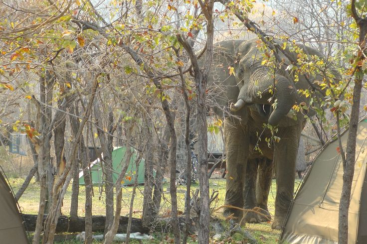 An elephant comes to investigate the campground.  www.lovinginlimbo.com