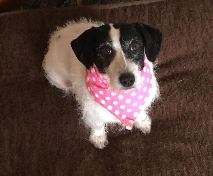 VIOLET - puppy mill survivor is an adoptable jack russell terrier searching for a forever family near Lucknow, ON. Use Petfinder to find adoptable pets in your area.