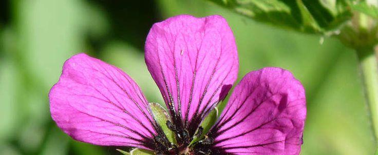 Geranium psilostemon by Aphthona