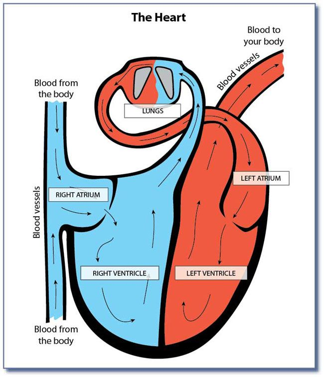 Simple Heart And Lungs Diagram Heart And Lungs Diagram Heart And Lungs Lunges