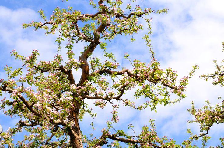 La fioritura dei meli in Val di Non #flowers #valdinon #spring #trentino