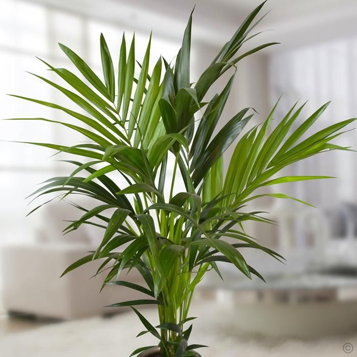Howea Forsteriana Palm 130cm 1 Plant Buy Online Order Yours Now