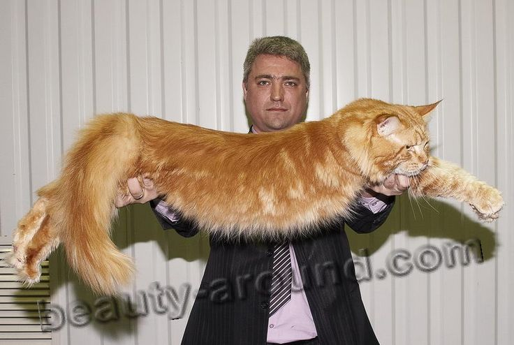Do all maine coons do this stretch? Mine does and he's about this big too.