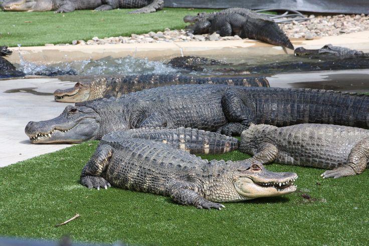 Alligators.  Reptile Gardens, Rapid City, SD.  07/2011.