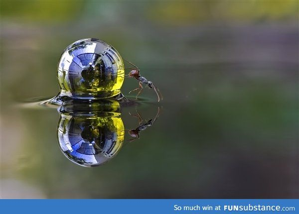 An ant rolling a sphere of water across the surface of a garden pond