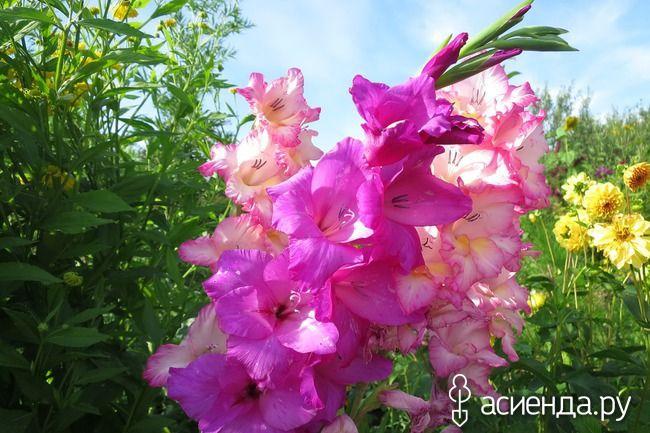 Гладиолусы из половинок клубнелуковиц: Группа Практикум садовода и огородника