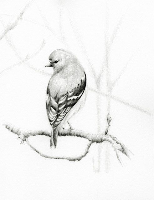 Bird Pencil Drawing Fine Art Giclee Print of my Original Woodland Bird Pencil Drawing Black and White Teamt