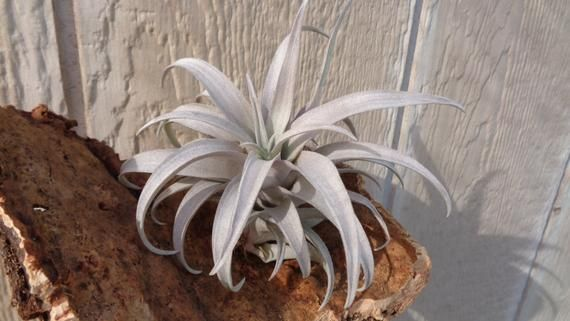 "Tillandsia Capitata ""Yellow"" Dwarf"