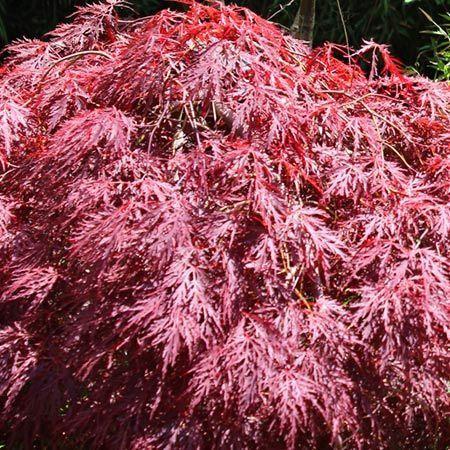 Tamukeyama Japanese Maple for Sale | Fast-Growing-Trees.com