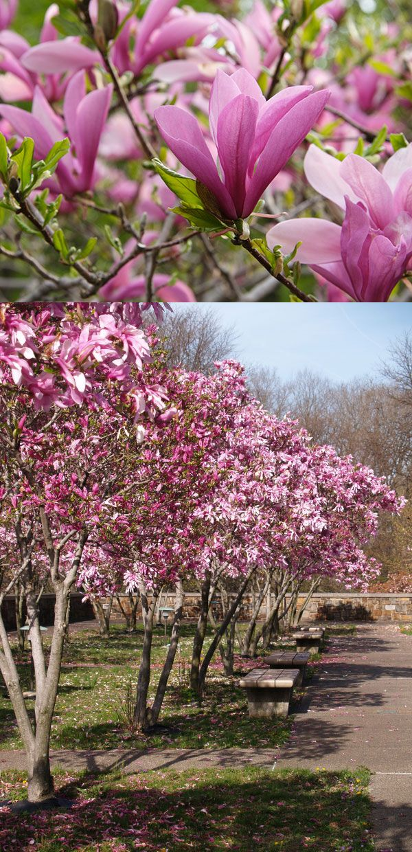 The Jane Magnolia is both cold hardy and heat tolerant. However, its most famous for its multi colored blooms that are bright pink and white. The fragrant blooms are long lasting, and let people know when spring has officially arrived.