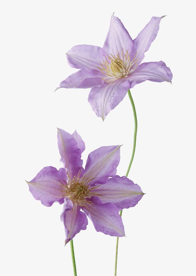 Flores moradas en plena floración, Purple, Bloom, Flores Imagen PNG