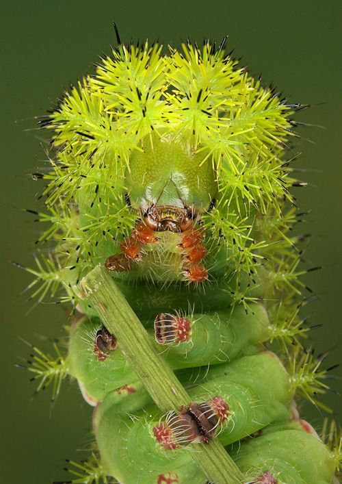 you are what you eat ...  Eupackardia calleta  photographed by Igor Siwanowich.