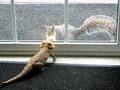 Spike vs. Squirrel (Bearded Dragon lizard)