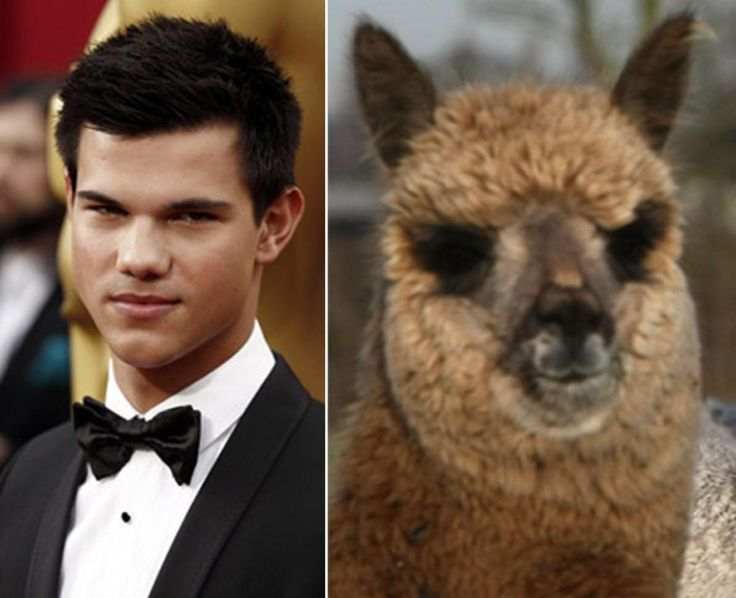 Taylor Lautner may play a werewolf, but his next role should be as an alpaca.
