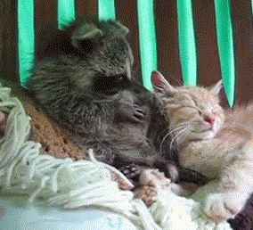 """""""This damn raccoon that won't just leave this cat ALONE: 