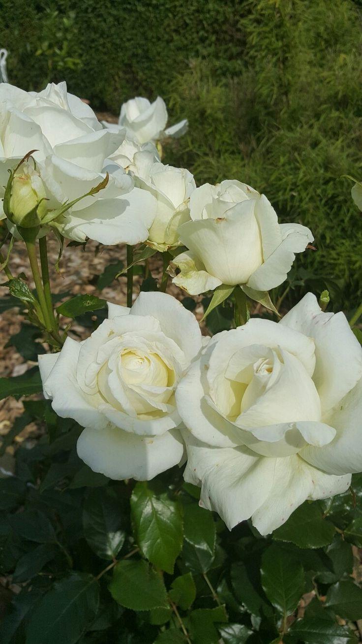 Roses Karen bliksen