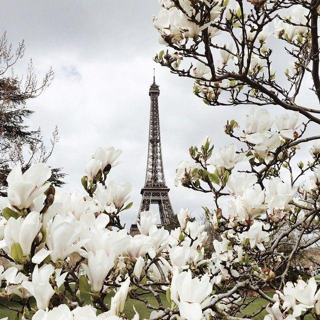 The Eiffel Tower in Paris through white flowers