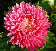 Astra - http://www.rastliny-semena.sk/cz/semena-osiva-kvetiny-semienka-rastliny-a-semena-predaj-semien/rosltiny-astra-vysoka-k-rezu-smes-barev/