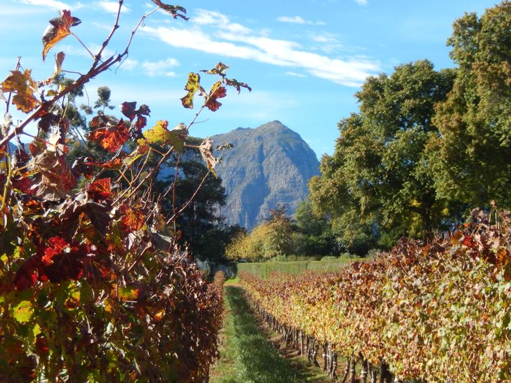 Autumn vines,Frannshoek,Cape Town