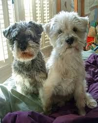 Image result for schnauzer mix