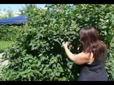 Как уменьшить высоту куста сирени