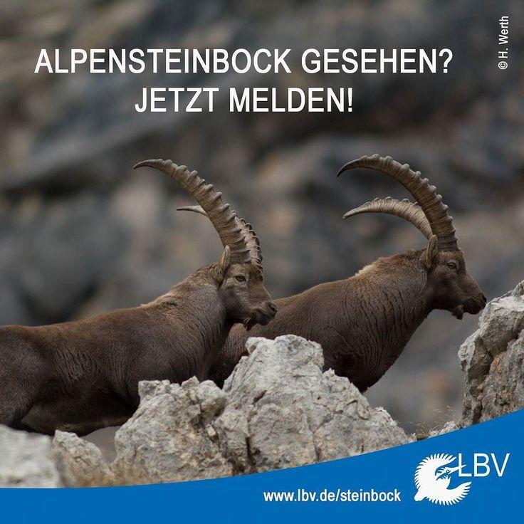 In den bayerischen #Alpen kommen #Steinböcke in den Allgäuer Hochalpen im #Ammerwald an der #Benediktenwand am #Brünnstein und im #Hagengebirge vor. Das genaue Wissen über ihren Bestand ist in #Bayern jedoch sehr begrenzt.  Und hier kommt ihr ins Spiel: Wenn ihr gerade #wandern seid und Steinböcke seht meldet sie uns! Ganz einfach auf Meldebögen in vielen #Berghütten eintragen oder online über unsere Homepage. www.lbv.de/steinbock  #citizenscience #bürgerwissenschaft #alpen #bayern #bavaria…