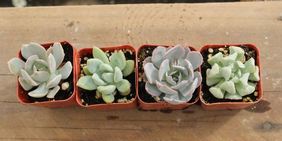6 unique ROSETTE only Succulent plants Collection 2 inch plastic pots succulents great for gifts & WEDDING FAVORS or samples